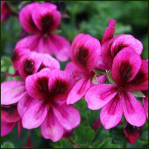 Scented Pelargonium - Geranium - 'Ashby'