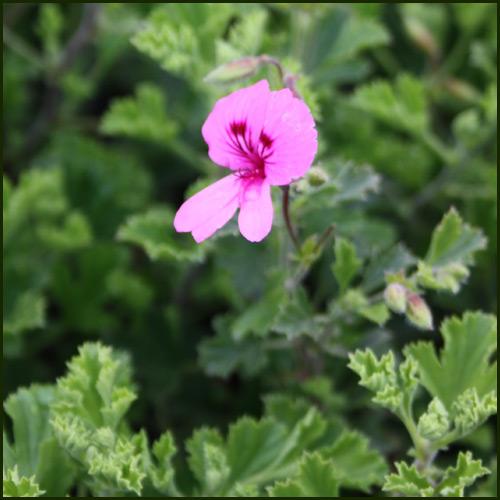 Scented Pelargonium - Geranium - 'Limonium'