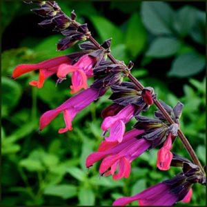 Salvia Amante
