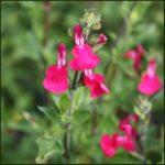 Salvia Blackcurrant