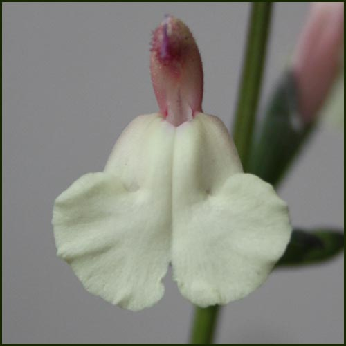 Salvia microphylla Trelissick Creamy Yellow