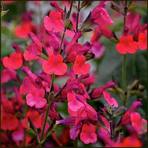 Salvia Wine and Roses