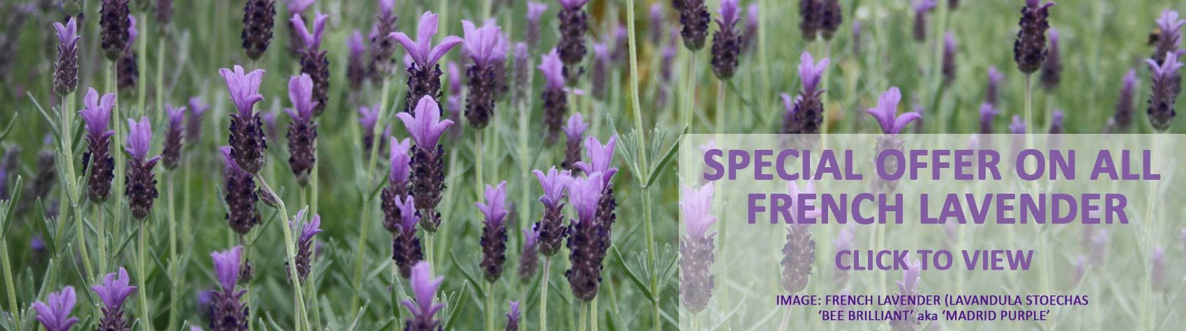 SALE - French Lavender - Stoechas
