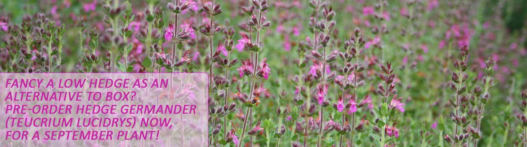 Buy Hedge Germander (Teucrium lucidrys)