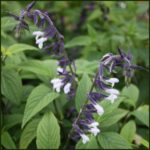 Salvia Phyllis Fancy