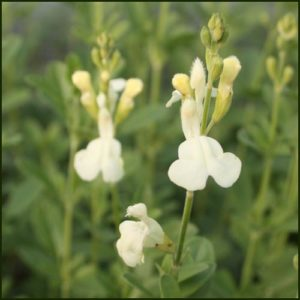 salvia clotted cream