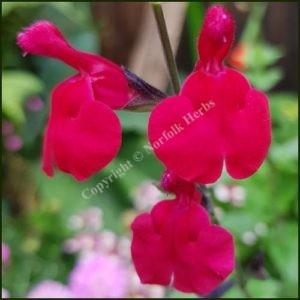 Salvia Jemima's Gem
