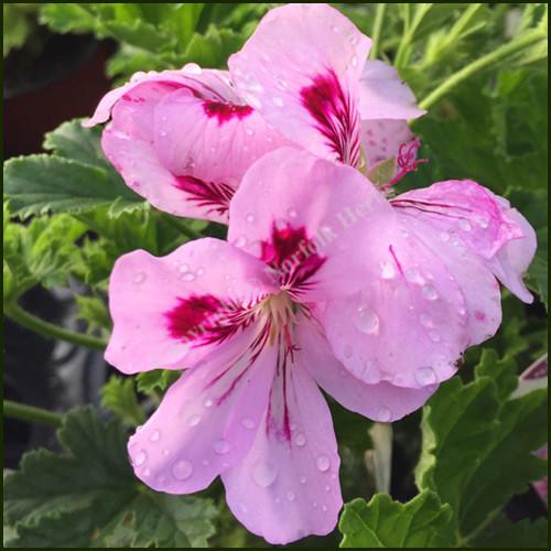 Scented Pelargonium Copthorne