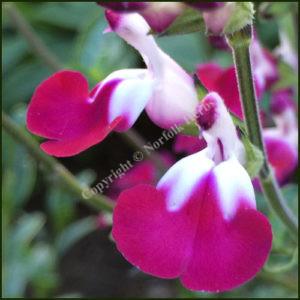 Salvia Cherry Lips