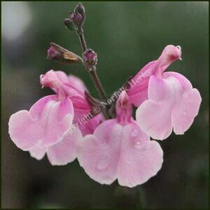salvia krystle pink