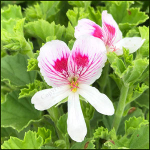 Scented Pelargonium Reije Van de Lee