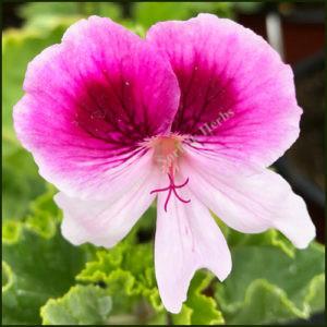 Scented Pelargonium Rose Bengal