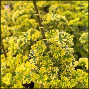 Scented Pelargonium Cy's Sunburst