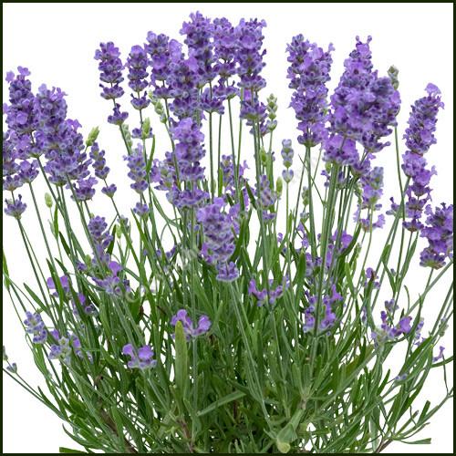 Lavender Bee Zee Light Blue