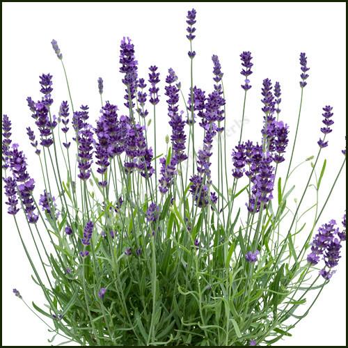 Lavender Bee Zee Power Blue