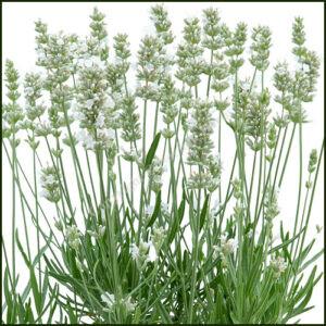 Lavender Bee Zee White