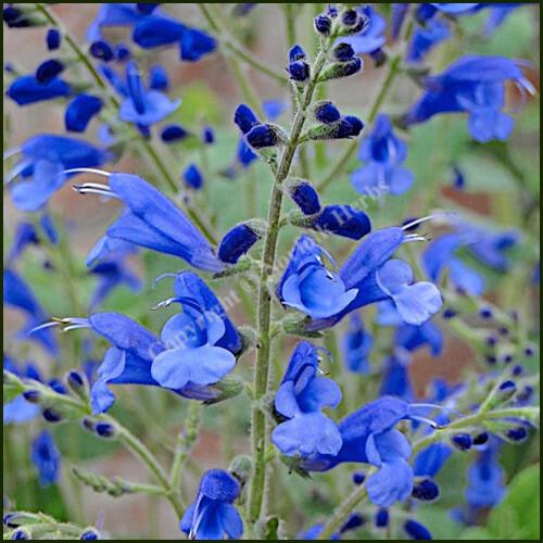 Salvia Blue Butterflies