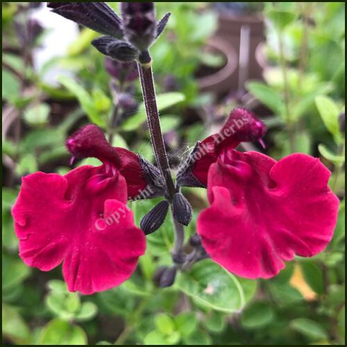 Salvia Velvet Gem