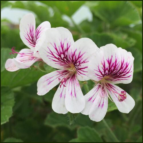 Scented-Pelargonium-Milly