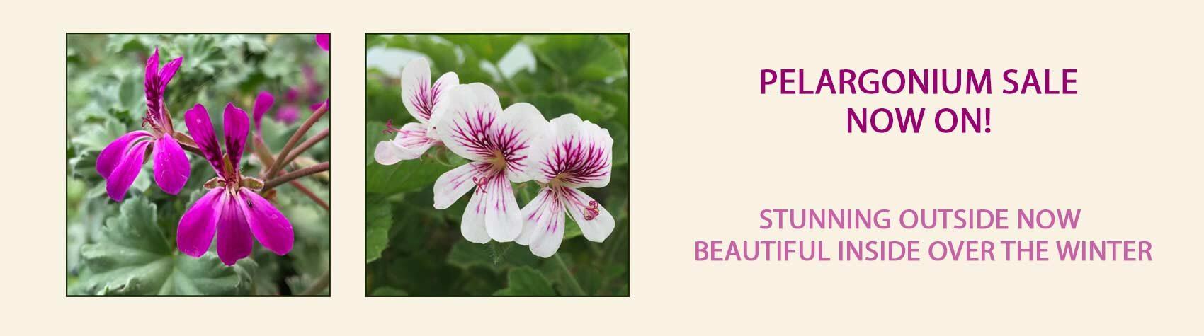 Buy Pelargoniums