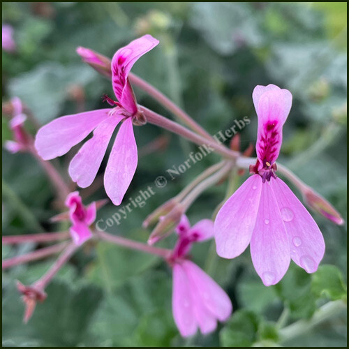 scented-pelargonium-lavender-lindy